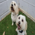 COOKIE AND YOGI - for homing